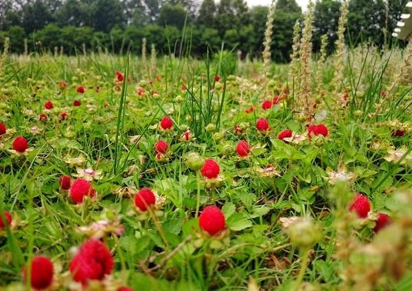 80后记忆:野草莓 黑天天