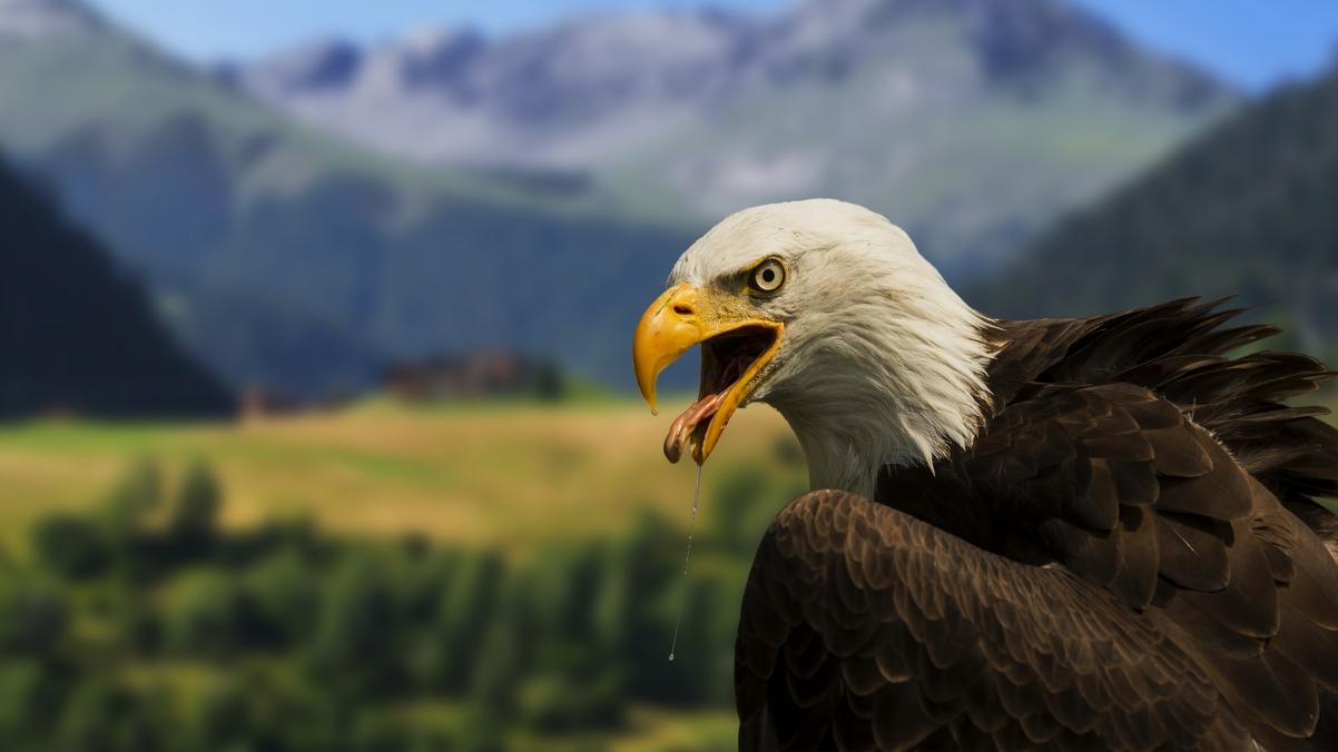 白头鹰4K壁纸