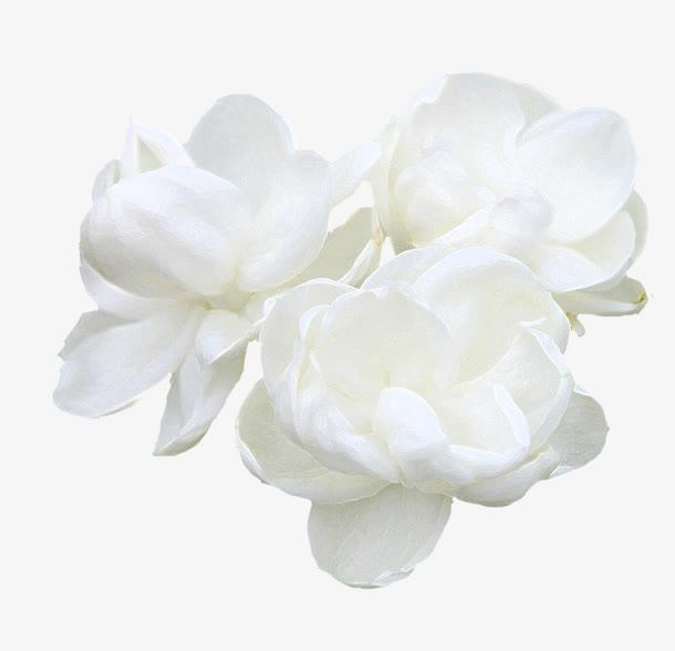 白色茉莉花